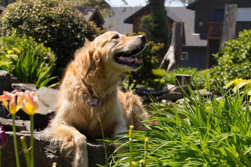 Golden retriever in the sunshine