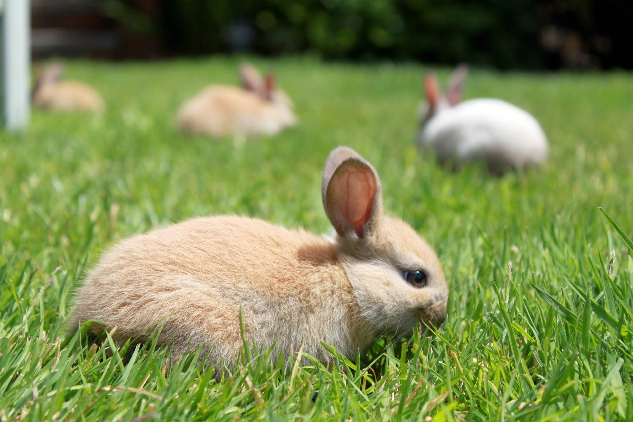 Rabbits on the lawn