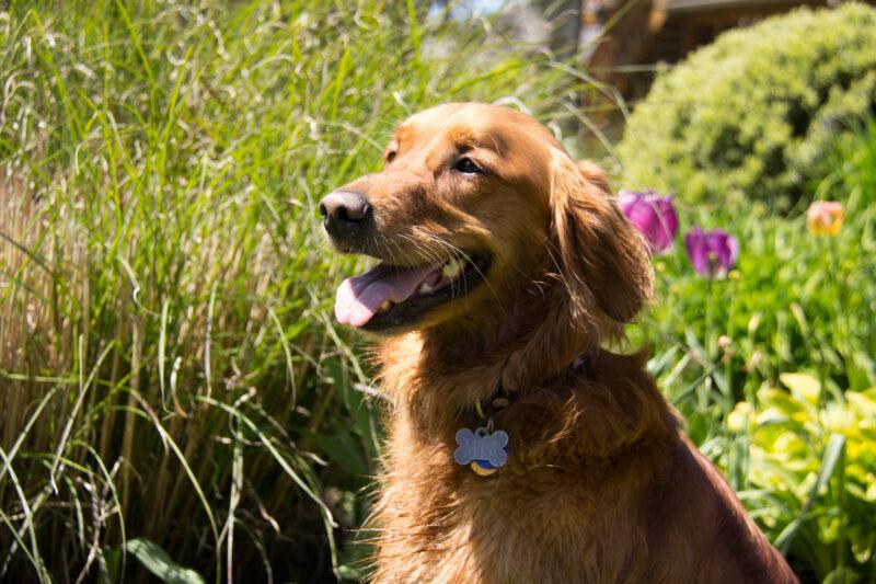 Golden retriever happy in spring